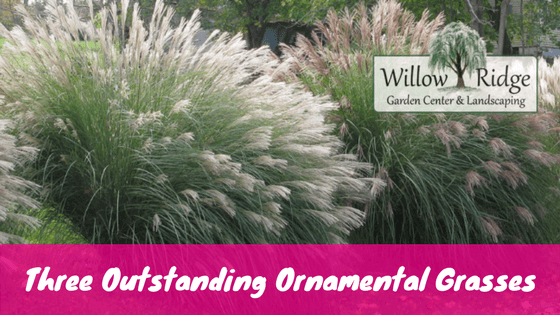 Three outstanding ornamental grasses for tennessee landscapes ornamental grasses mightylinksfo