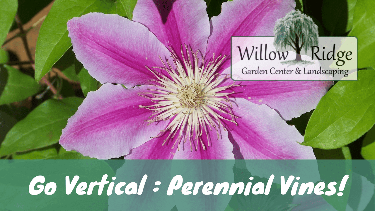 Go Vertical With Perennial Vines Willow Ridge Knoxville Oak Ridge