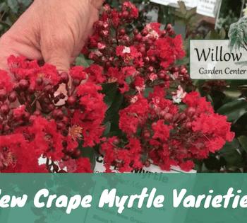 new crape myrtle varieties