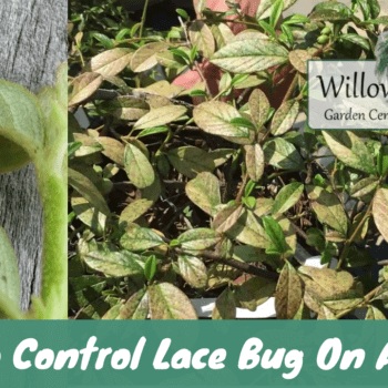 control lace bug