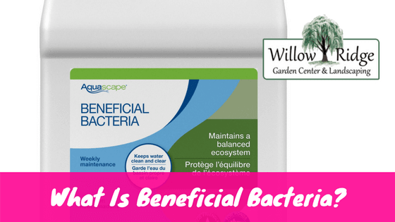 What is beneficial bacteria and why does my pond need it for Beneficial pond plants