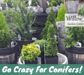 go crazy for conifers
