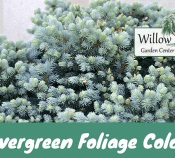 evergreen foliage customer