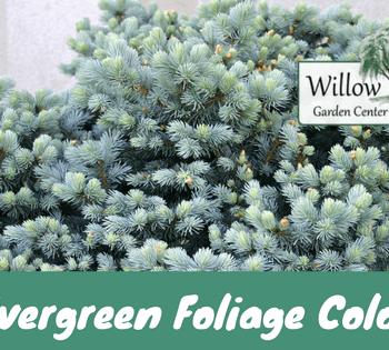 evergreen foliage customer