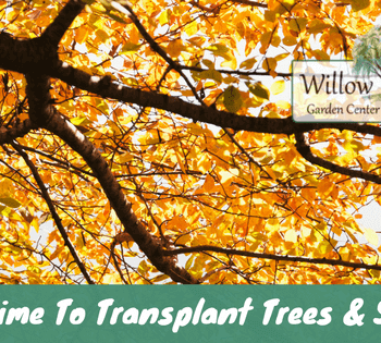 transplant trees and shrubs