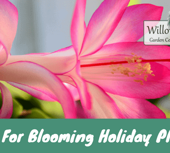 blooming holiday plants