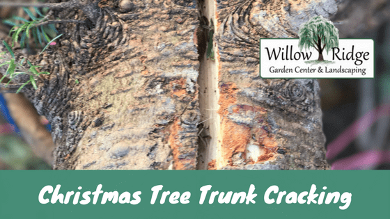 Is Christmas Tree Trunk Cracking A Problem?
