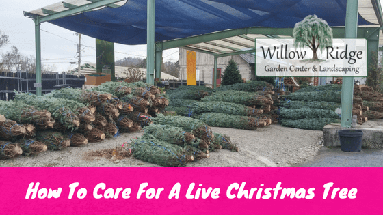 How To Care For A Live Christmas Tree