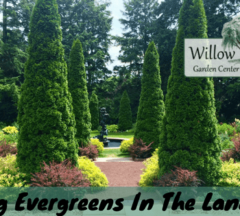 placing evergreens