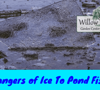 dangers of ice to pond fish