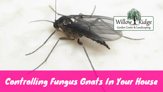 controlling fungus gnats in your home willow ridge knoxville oak ridge. Black Bedroom Furniture Sets. Home Design Ideas