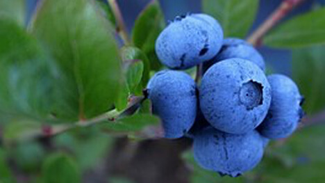 Best Blueberry Plants For East Tennessee Willow Ridge