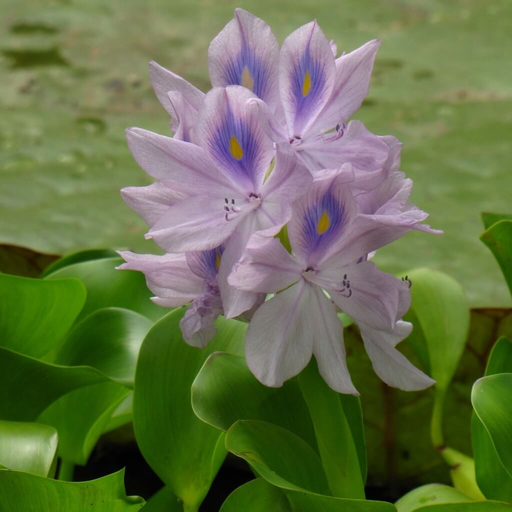 floating water plants