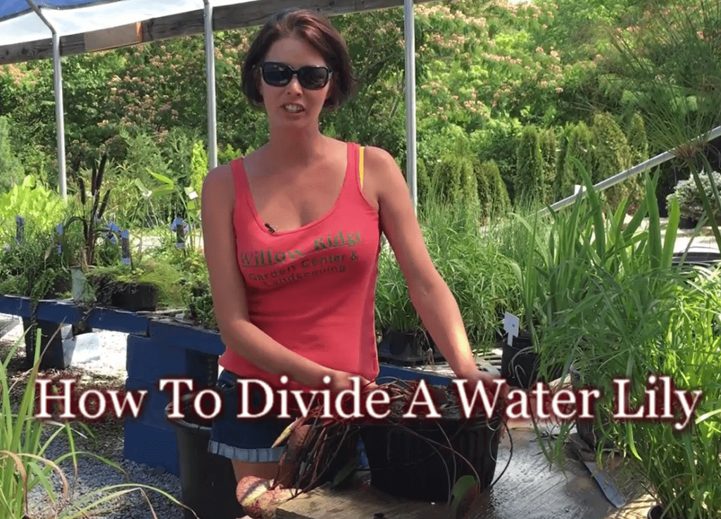 Divide A Water Lily