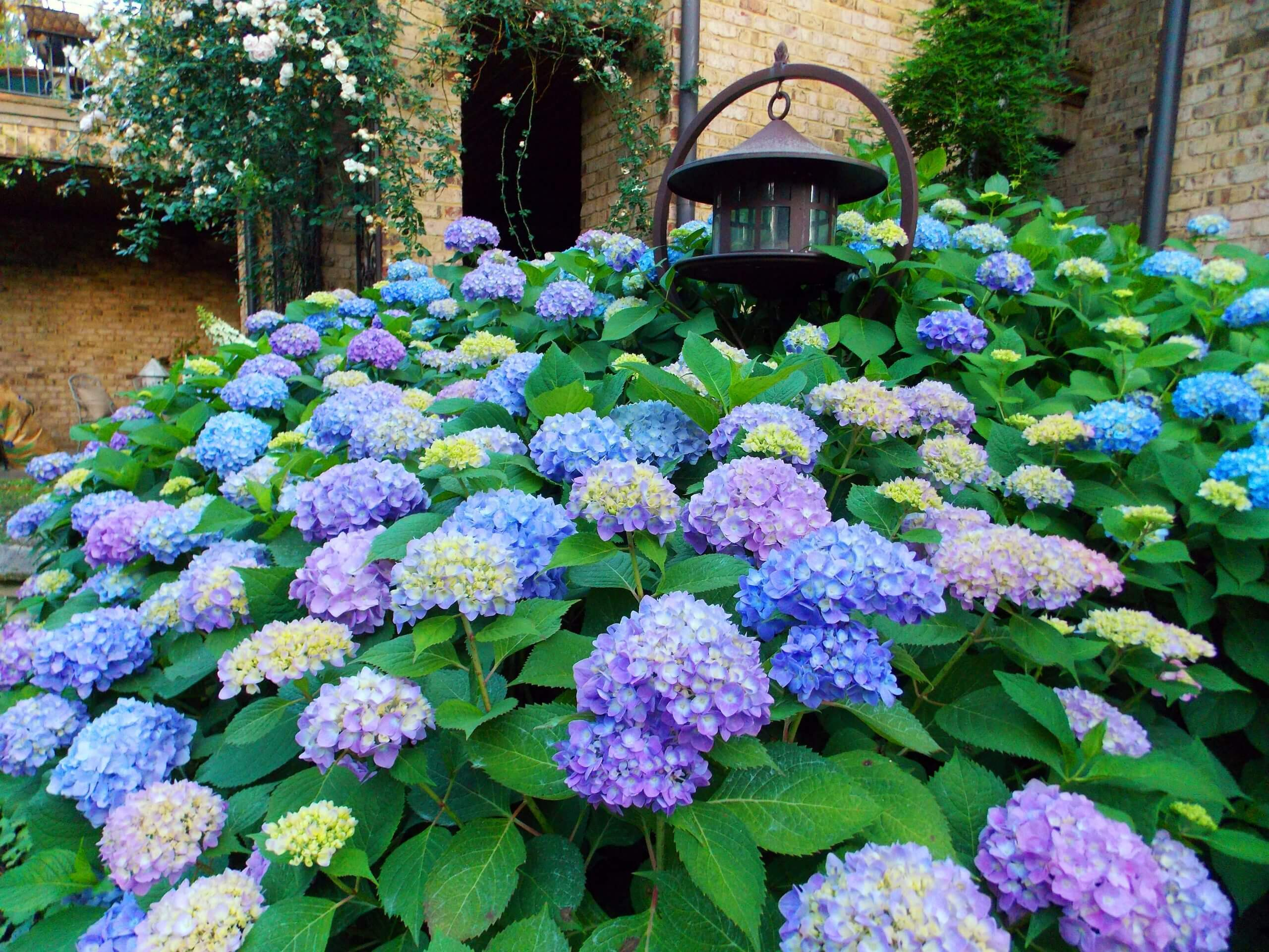 When to Prune Hydrangeas In East Tennessee - Willow Ridge ...