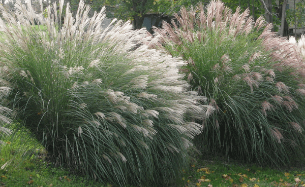 Three Outstanding Ornamental Grasses For Tennessee