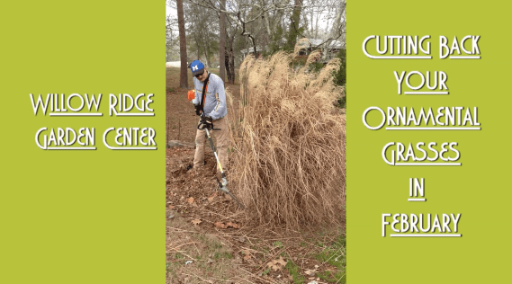 Trim Ornamental Grasses
