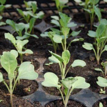 sow seeds indoors