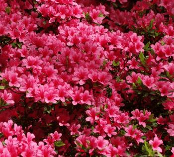 Spring Azalea Care