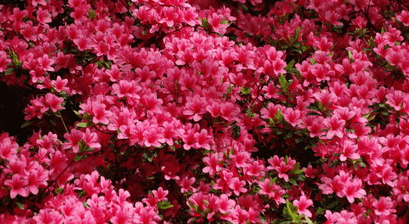 Spring Azalea Care In East Tennessee Willow Ridge