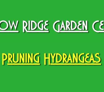 Prune Hydrangeas