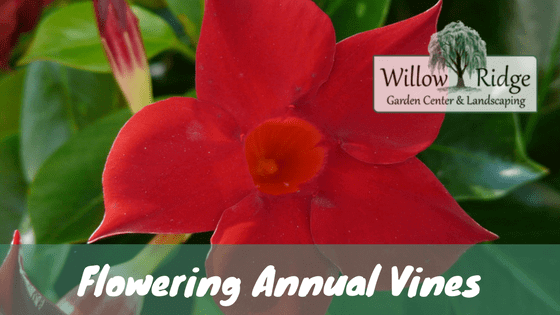 flowering annual vines