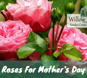 roses for mother's day
