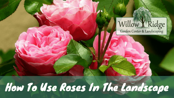 use roses in the landscape