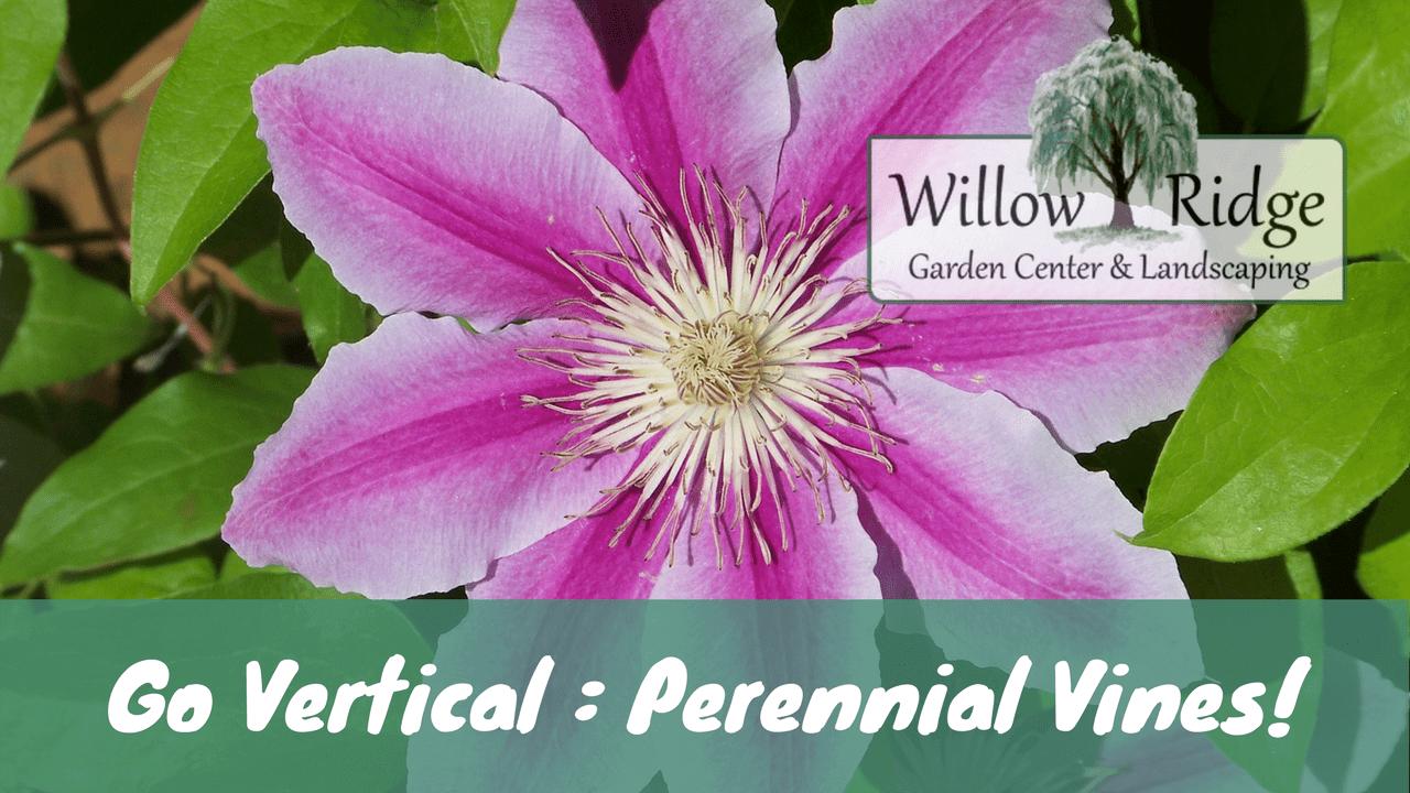 perennial vines