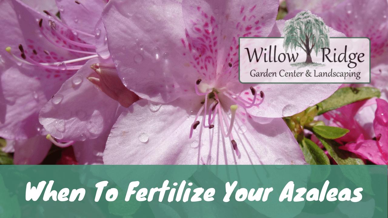 Fertilize Azaleas