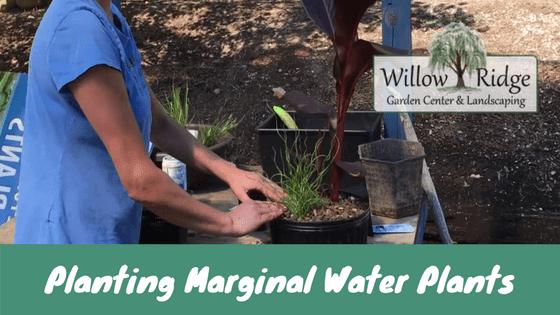 planting marginal water plants