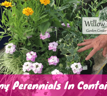 sun perennial containers