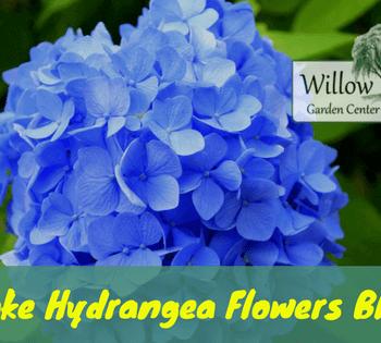 make hydrangea flowers blue