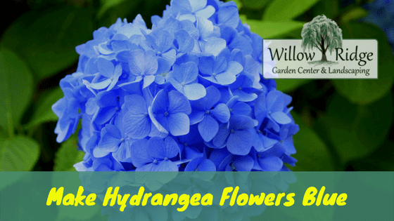 make hydrangea flowers blue