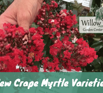 new crape myrtle varieties