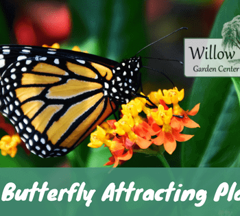 butterfly attracting plants
