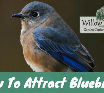 attract bluebirds