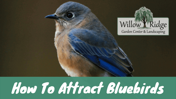 attract bluebirds