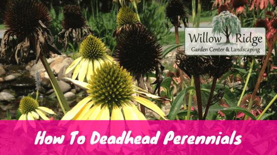 deadhead perennials