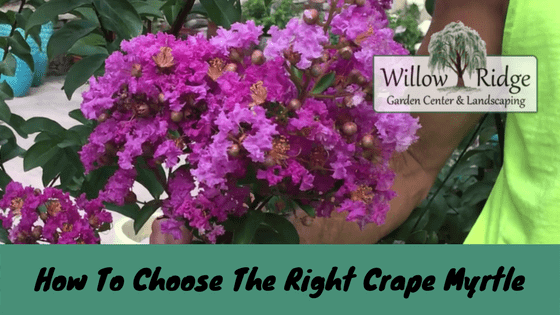how to choose the right crape myrtle