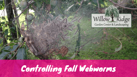 control fall webworms
