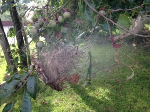 control fall webworm