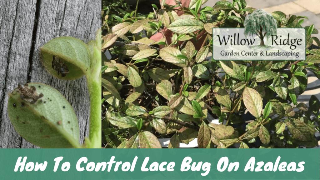 control lace bug