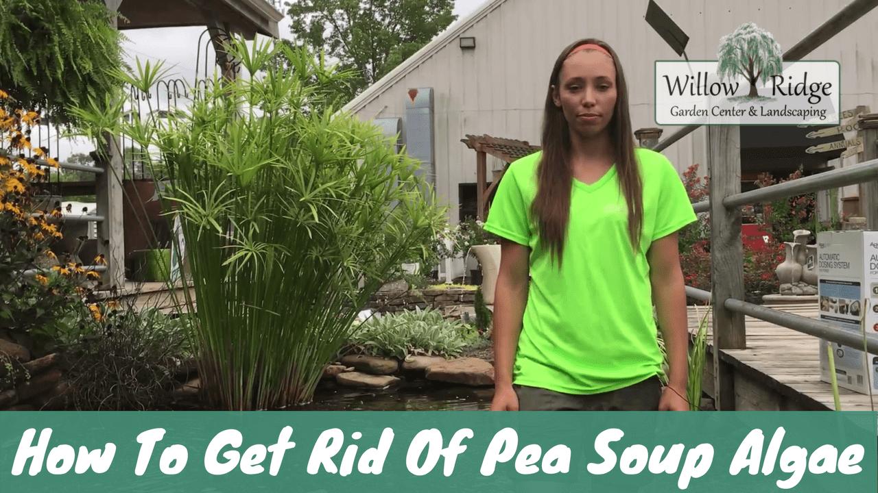 pea soup algae