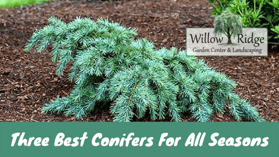 three best conifers for all seasons