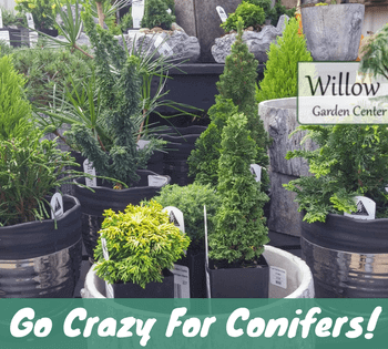 go crazy for conifers