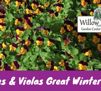 pansies and violas