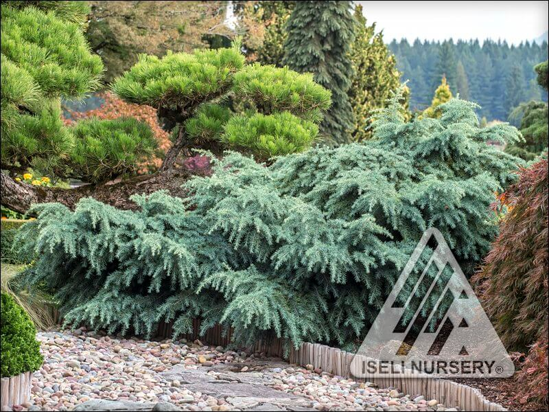 evergreen foliage color
