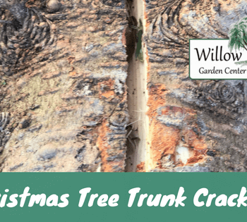 christmas tree trunk cracking