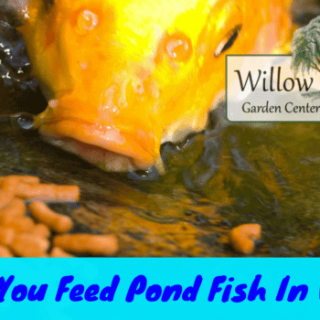 feed pond fish in winter